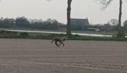 Cameraval filmt wolf rond Kalmthoutse Heide