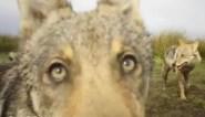 """""""Duidelijke aanwijzingen van een nieuwe wolf in Vlaanderen"""""""