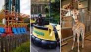 300.000 euro per maand en zelfs de giraffe is er klaar voor: zo maakt Bellewaerde zich klaar voor heropening