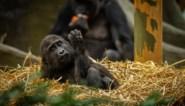 Zoogdieren van Zoo Antwerpen en Planckendael coronavrij verklaard na mestonderzoek