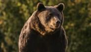 """""""Hij wou gewoon de grootst mogelijke jachttrofee aan zijn muur"""": prins van Liechtenstein schiet """"grootste beer in Europa"""" dood"""