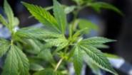 Politie doekt professionele cannabisplantage op