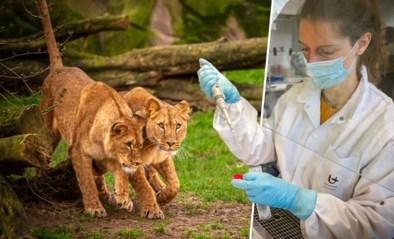 Ruim 1.000 zoo-dieren getest op corona: waarom is dat nodig en krijgen zij ook een wisser in de neus of mond?
