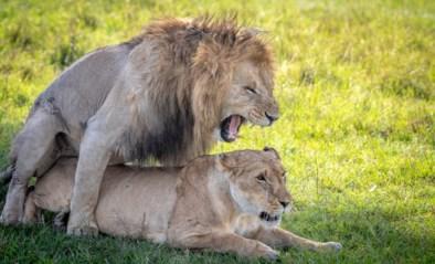 Seks met je broer blijkt geen probleem voor veel dieren en dat heeft gevolgen voor beschermingsprogramma's
