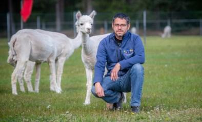 """""""Wie één alpaca wil kopen, die krijgt er geen"""": kwekers en politiek maken zich zorgen om groeiende hype"""