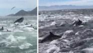 Straf natuurspektakel: honderden dolfijnen werken samen om school vissen te verslinden