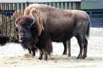 45.000 Amerikanen zijn kandidaat om bizons in natuurpark neer te schieten, en dat allemaal met toestemming van de beheerders