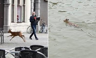 Vreemde terrasganger: hert huppelt plots op Antwerpse Grote Markt en zwemt later Schelde over