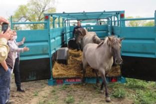 Schotse hooglandrunderen en Konikpaarden helpen vegetatie in natuurgebied Dorent kort houden