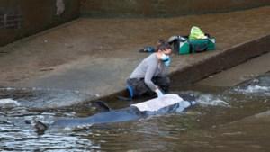 Bevrijde walvis in Londen opnieuw gestrand: dierenartsen besluiten dier af te maken