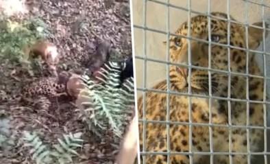 Drie luipaarden ontsnappen uit Chinese zoo, directie houdt het een week stil en gaat op jacht met drones en honden