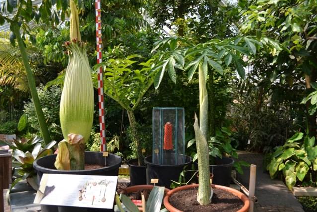 De reuzenaronskelk, de grootste bloem ter wereld, staat in bloei in Plantentuin van Meise