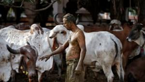 Artsen India waarschuwen dat koeienpoep niet tegen corona helpt