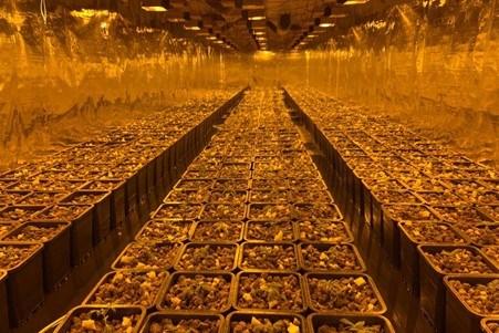 Politie ontmantelt drie plantages met meer dan 3.500 cannabisplanten