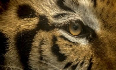 Dolende tijger gezocht in Texas
