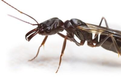 Waarom je de komende weken nog veel meer mieren in huis zal tegenkomen: en wat kan je ertegen doen?