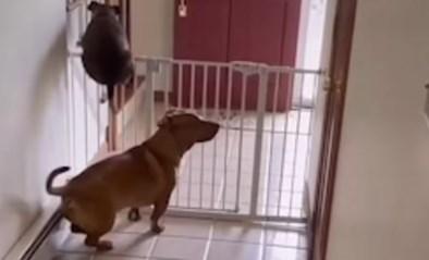 """Hond heeft slim trucje om over hek te springen, baasjes staan versteld: """"Ongelofelijk"""""""