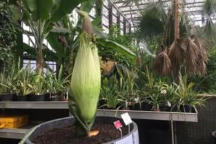Gentse 'penisplant' Titaantje bijna in bloei, maar er zit een reukje aan …