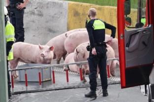 Vrachtwagen vol varkens gekanteld: tientallen dieren overleden