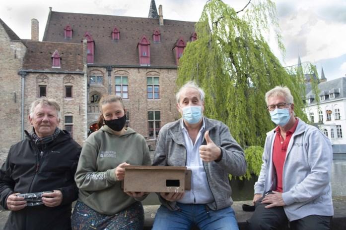 Gierzwaluw is ook welkom in hartje Brugge