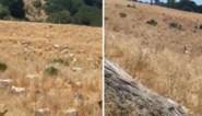 Brandweerkorps bestrijdt bosbranden preventief met nieuw geheim wapen: 3.000 geiten