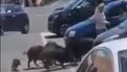 Hongerige everzwijnen vallen vrouw aan op parking van supermarkt