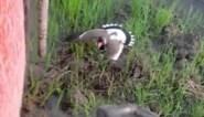 """Moeder vogel beschermt eitjes tegen aankomende tractor: """"Prachtig instinct"""""""