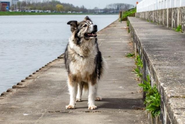 """Hond Dunya neemt Gentse senioren op sleeptouw: """"Ze is de perfecte ijsbreker"""""""