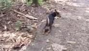 Verlamd hondje krijgt extra aaitjes en eten van toeristen, maar achteraf komt zijn ware aard boven