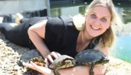 """Opvangcentra kunnen massale instroom van schildpadden niet meer aan: """"Soms echt triestige verhalen"""""""