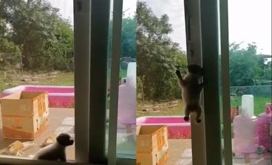 """Puppy klimt op raam zoals een spin: """"Ze is heel ondeugend"""""""