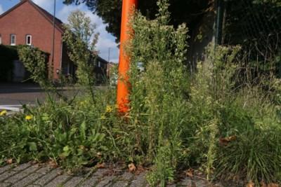 Onkruid tiert welig op bermen en voetpaden: moeten gemeenten dat niet verwijderen?