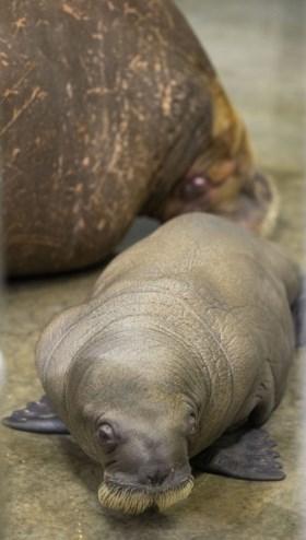 Pairi Daiza verwelkomt baby walrus