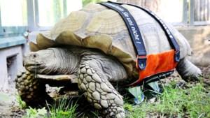 Alles loopt weer op wieltjes voor Helmuth: dierentuin verzint creatieve constructie voor aandoening van schildpad