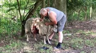 Wolven bijten 11 schapen dood in twee nachten