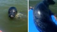 Voor deze zeehond is een paddleboard ideaal om te zonnen