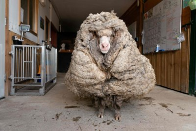 Lopen alle wilde schapen er véél te wollig bij omdat ze nooit geschoren worden?