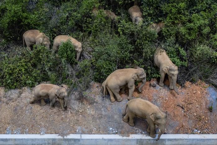 Losgeslagen olifanten naderen stad met miljoenen inwoners in China, angst voor nog meer schade