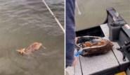 Vissers redden hertje dat dreigt te verdrinken en herenigen het met de moeder