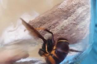 Imkers verwijderen nest van Aziatische hoornaar in Halen