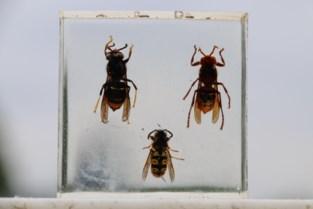 """Aziatische hoornaar aangetroffen in Zelem: """"Bedreiging voor onze diversiteit en fruitteelt"""""""