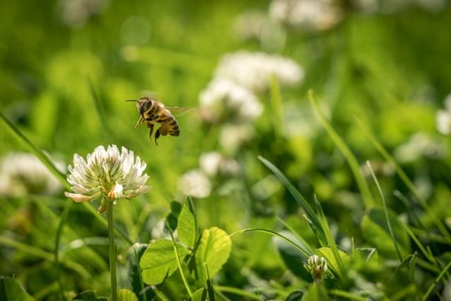 Vijf miljoen bijen konden elke dag eten dankzij Maai Mei Niet-gazons