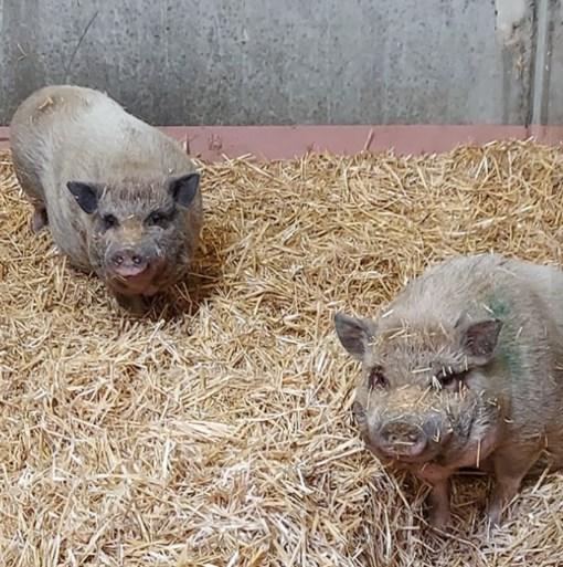 Drie hangbuikvarkens gevonden door de brandweer zoeken nieuwe thuis