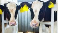 Europees Parlement wil kooien in veehouderij afschaffen