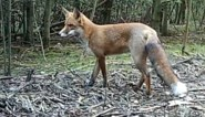 """Zoo Antwerpen niet blij met wilde vos: """"Al eet hij vooral hamburgers en frietjes"""""""