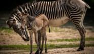 Heuglijk nieuws in Planckendael: bedreigde grévyzebra geboren