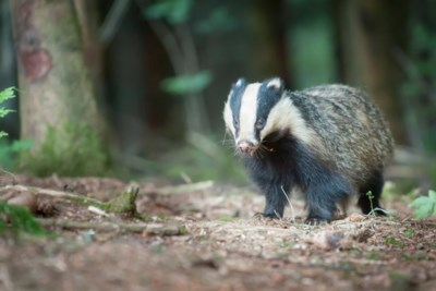 Eerste Limburgse ecotunnel voor dier én verkeer in Diepenbeek moet das naar de Demervallei lokken