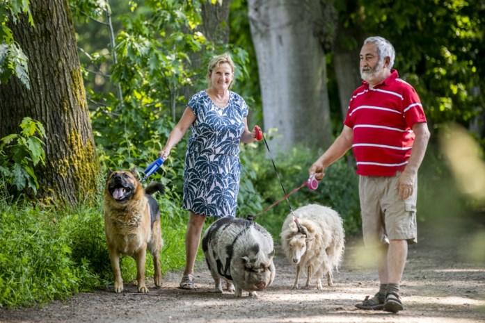 De beestige wandeling van Maria (64) en Jef (74) : met herdershond, schaap én hangbuikzwijn