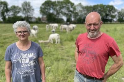 """Boer Jos (60) wil weide redden van het beton van de bouwpromotoren, maar daarvoor is véél geld nodig: """"Waar kan je nog koeien zo dicht bij de kerktoren zien huppelen?"""""""