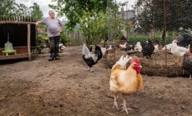 Nu PFOS-crisis losbreekt: kunnen we nog eitjes uit eigen tuin eten? En zijn die uit de supermarkt wel veiliger?